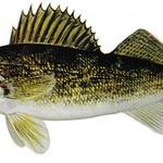 Walleye Bob