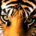 Tiger Toe