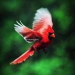 Cardinal Byrd