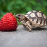 slightly biased turtle eating a strawberry