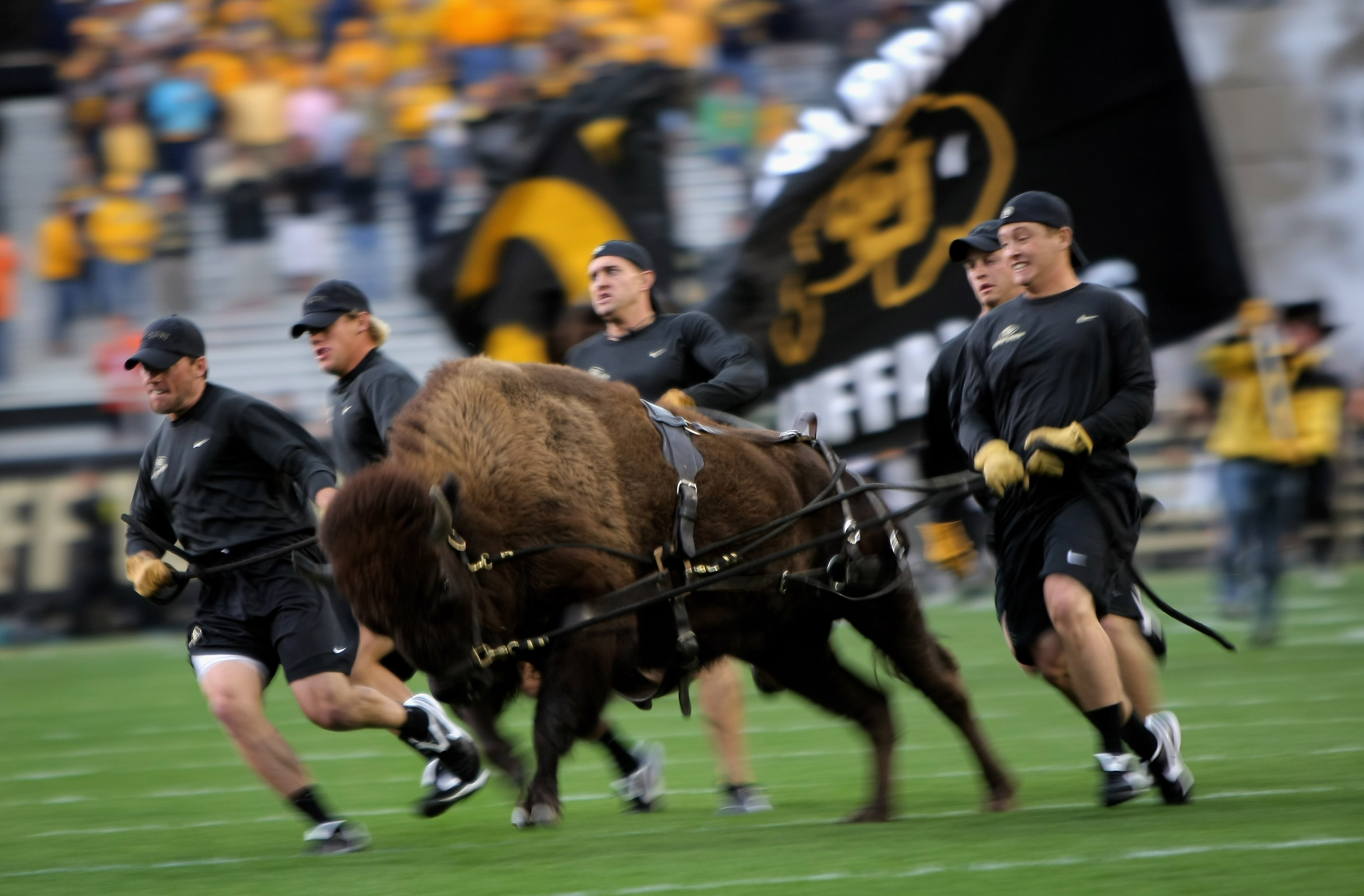 BOULDER, CO - SEPTEMBER 18:  Ralphie V, the Buffalo mascot of the Colorado Buffaloes, made her debut as the team came onto the field to face the West Virginia Mountaineers at Folsom Field on September 18, 2008 in Boulder, Colorado. Colorado defeated West